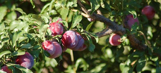 Plum tree bearing fruit